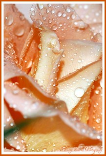 Peach Rose Drops ~ | by **Mary**