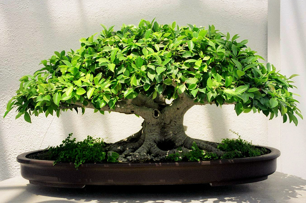 tiger bark ficus bonsai washington dc a tiger bark ficus flickr. Black Bedroom Furniture Sets. Home Design Ideas