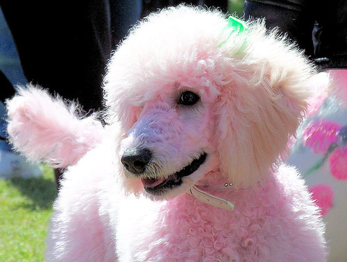 Pink Poodle | by Chris Overcash