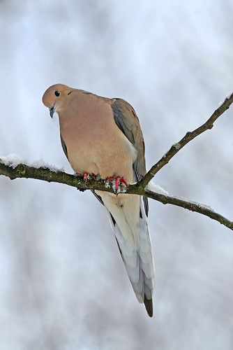 Mourning Dove | by The Nature Nook