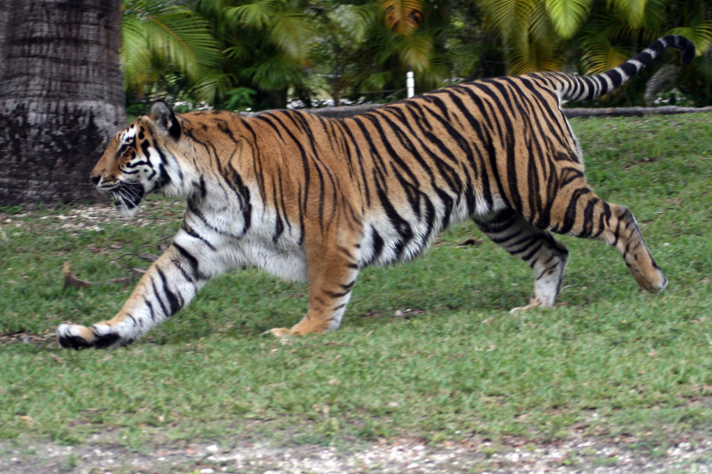 Tiger Running and Playing | Matthew Hoelscher | Flickr