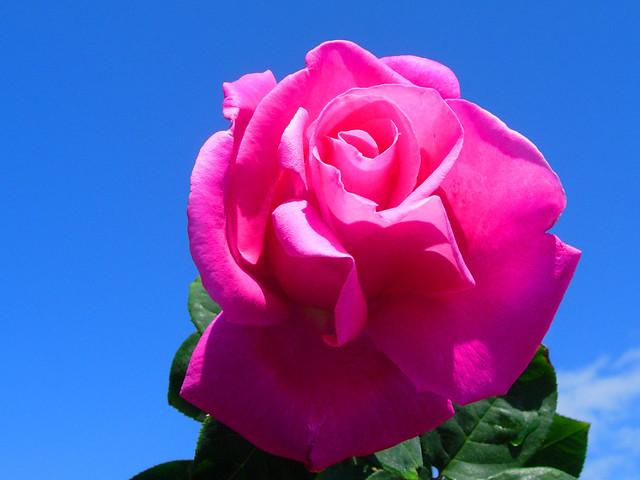 rose quotperfume delightquot hybrid tea flickr photo sharing