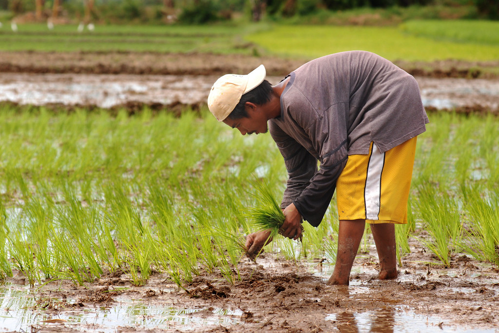 Rice Planting | As we ...