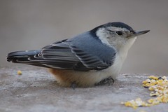 White-breasted Nuthatch by John K. Cassady | by jcassady