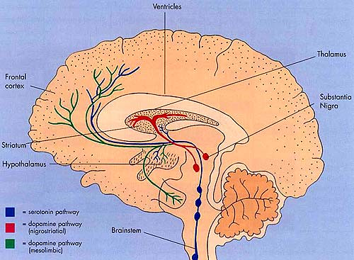 cross-section human brain diagram 2 | intracranial | Flickr