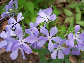 Woodland phlox | by Mean and Pinchy