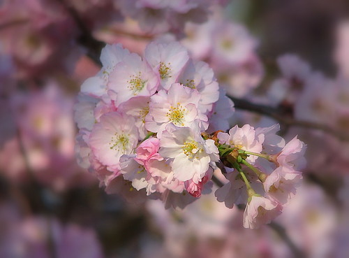 Cherry Blossoms | by Trish Overton