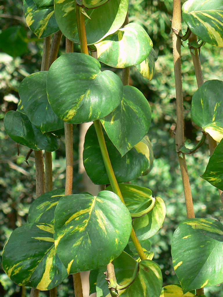 Epipremnum Aureum Common Name Devil S Ivy Golden