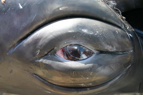 Humpback Whale Eye - Vlieland 2004 - Oog Bultrug ...