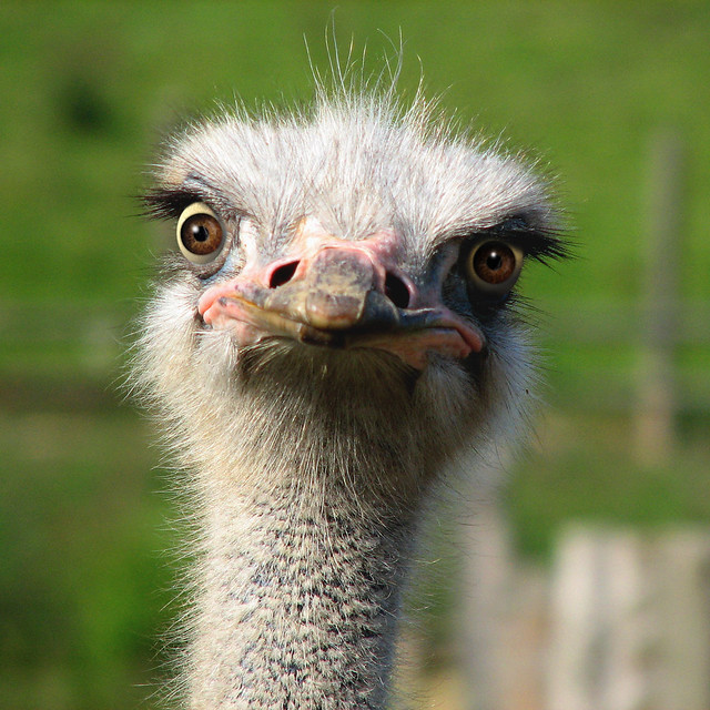 happy ostrich face