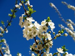 Ciruelo en flor / Plum tree blossom | by Cristina MR