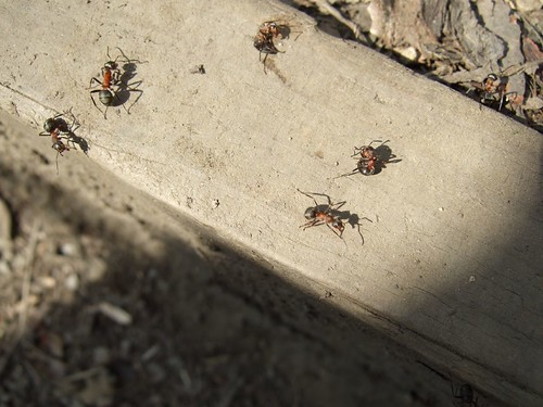 Northern hairy wood ants, some squashed | by in vino veritas