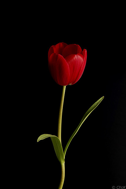 Red Tulip | Red tulip against black background, lit from ...