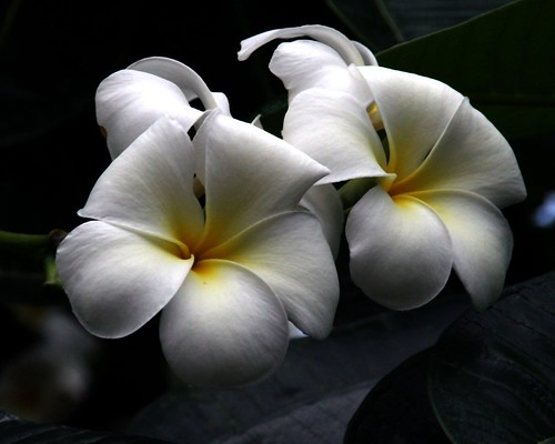 Frangipani Flowers | by whoops vision
