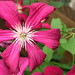 Pink & Green PS Eye Candy Clematis