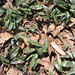 Trout lily leaves
