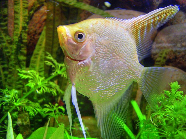 Pez fish pterophyllum scalare make a good photo of a for Is fish good for you