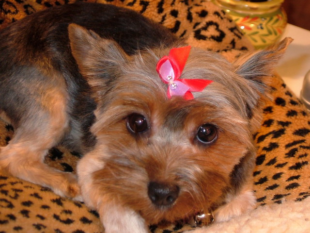 female yorkie haircuts bridget this is bridget our 2 year yorkie who 3159 | 363612329 e698de5aab z