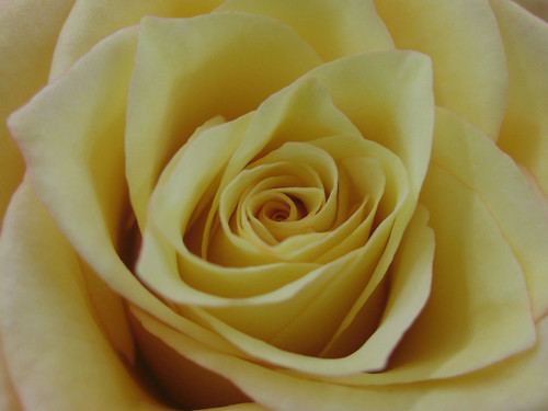 Yellow Rose | by ToniVC