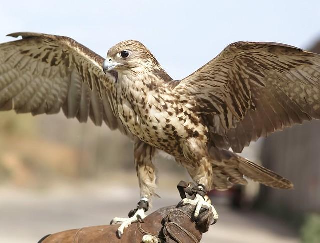ginebra, halcón sacre 02 - Saker falcon - Falco cherrug