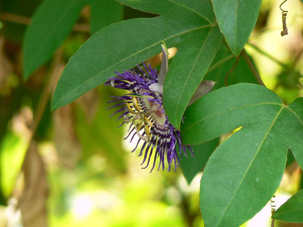 Flor de Pasión in Spanish Passifloraceae passion flower…