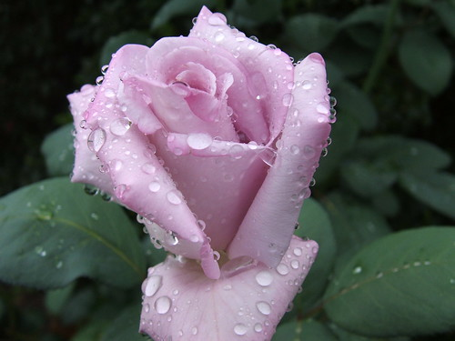 wet rose | by *Kevin45*