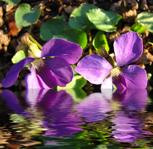 sunlite violets | by amiMaija (Anne Brown Photography)