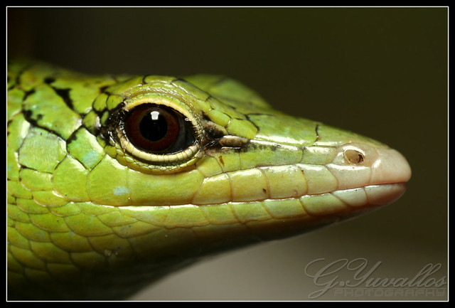 "Tabili | This ""Green Lizard"" is called Tabili among the ..."