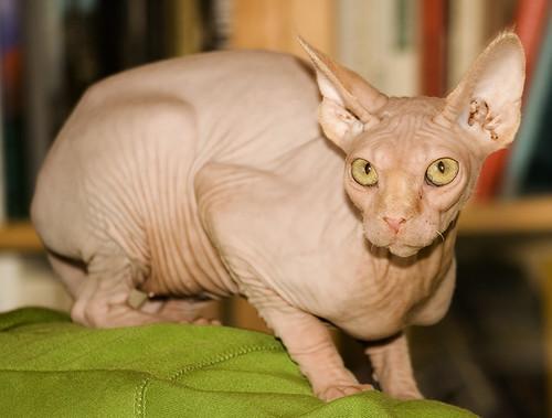 Cat No Fur On Ears