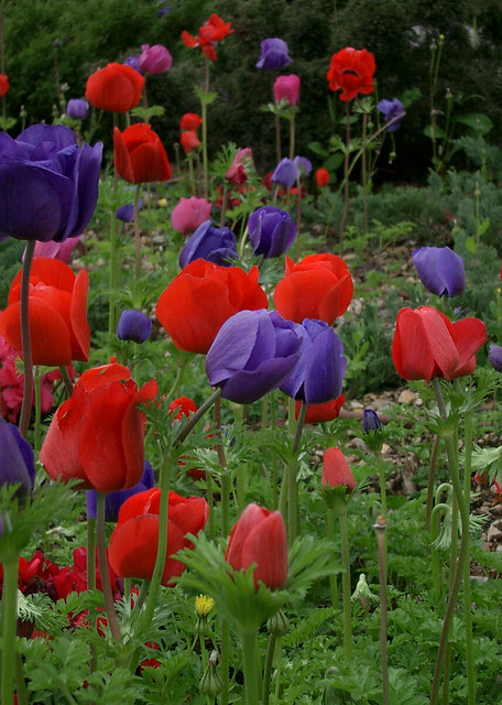 Anemone natashap flickr for Amapola jardin de infantes palermo