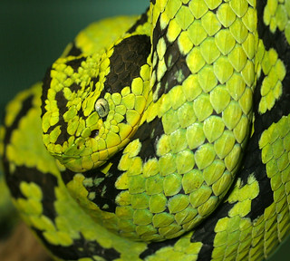 Yellow-Blotched Palm-Pitviper | by Tad 20D