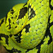 Yellow-Blotched Palm-Pitviper