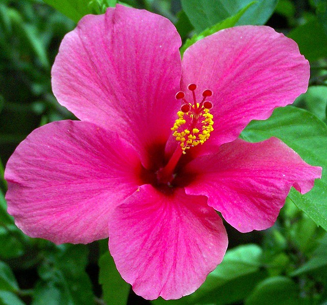 Pink Hibiscus Shoe Flower Found At Pura Mandara Giri