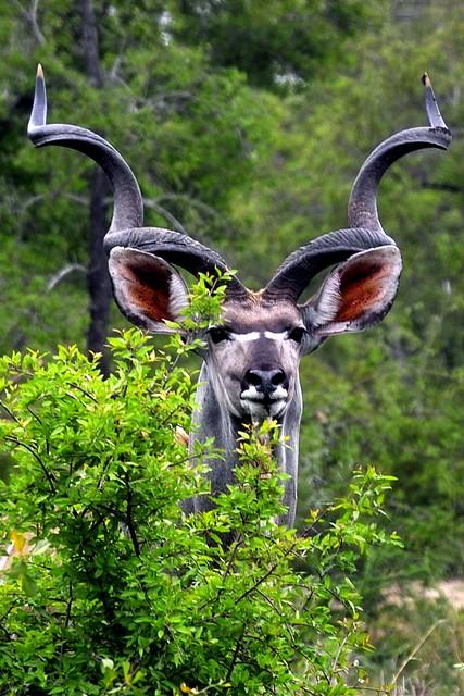 Big kudu bull | IMG03498 | Arno Meintjes | Flickr