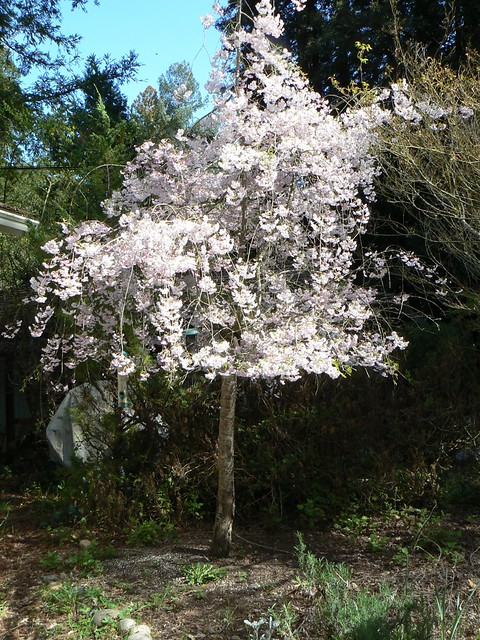 Weeping cherry tree ornamental spring has sprung for Small ornamental weeping trees
