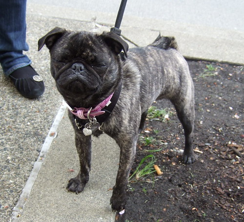 """Brindle Pug """"Spotted"""" in Downtown Seattle 