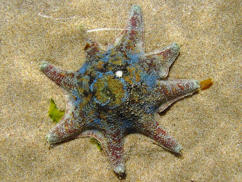 Starfish1 | by BeachcomberAustralia