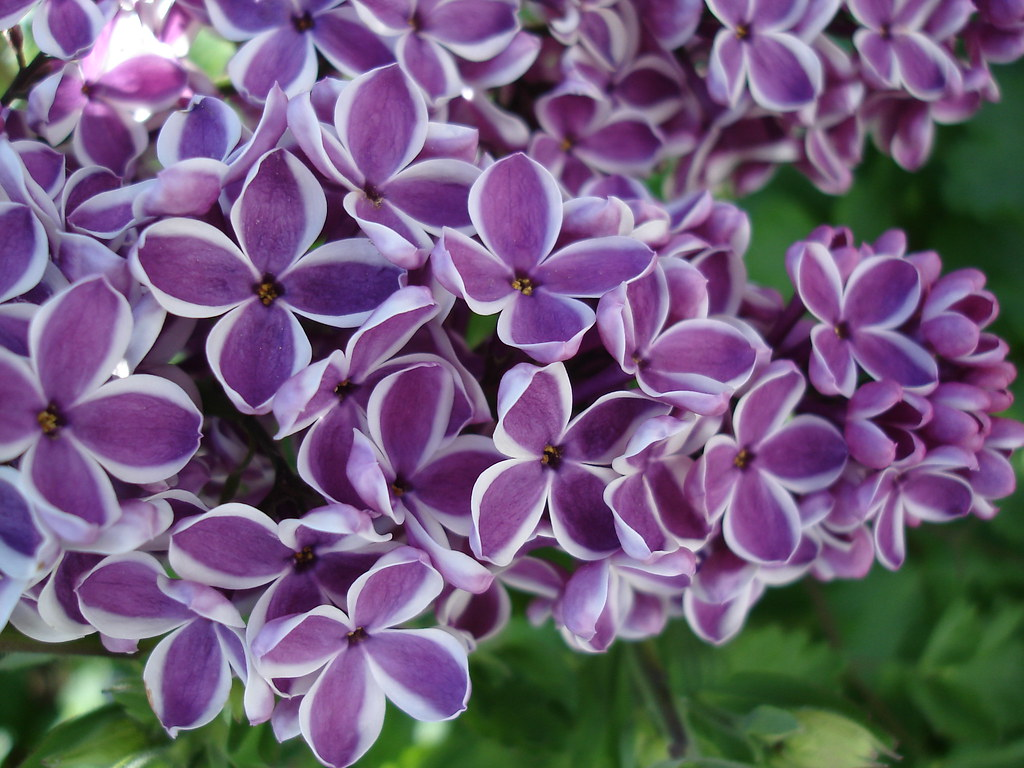 lilac flower lila flieder lilac flower white and