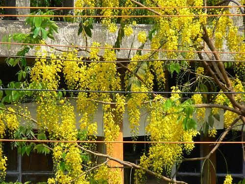 עץ קאסיה בפריחה מלאה. צילום: https://www.flickr.com/photos/dinesh_valke/