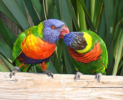 Kissing Birds Image Kissing Birds Num Aquário em