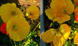 yellowsunshine diptych | by yaznotjaz