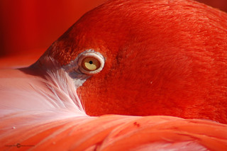 Flamingo Upclose | by Melissa_A
