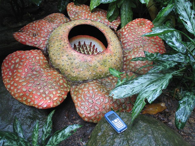 largest flower in the world!! (look at the scale!!)