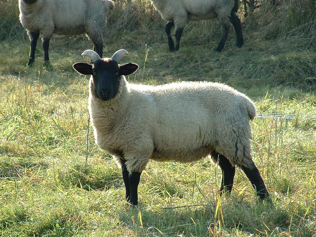 Norfolk Horned Sheep Norfolk Horned Sheep Roots Of