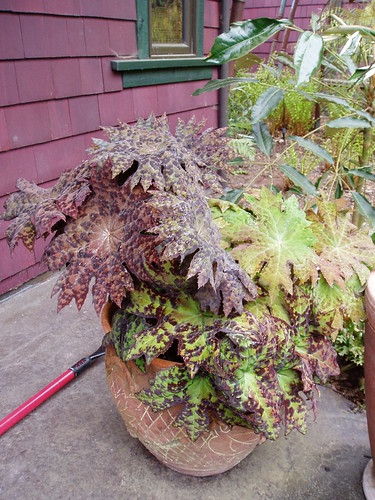 Pot of Podophyllum delavayii in Windcliff | by RHR Horticulture