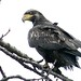 Immature Bald Eagle on a Rainy Morning