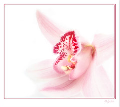 Orchid | by ImageInnovation Photography