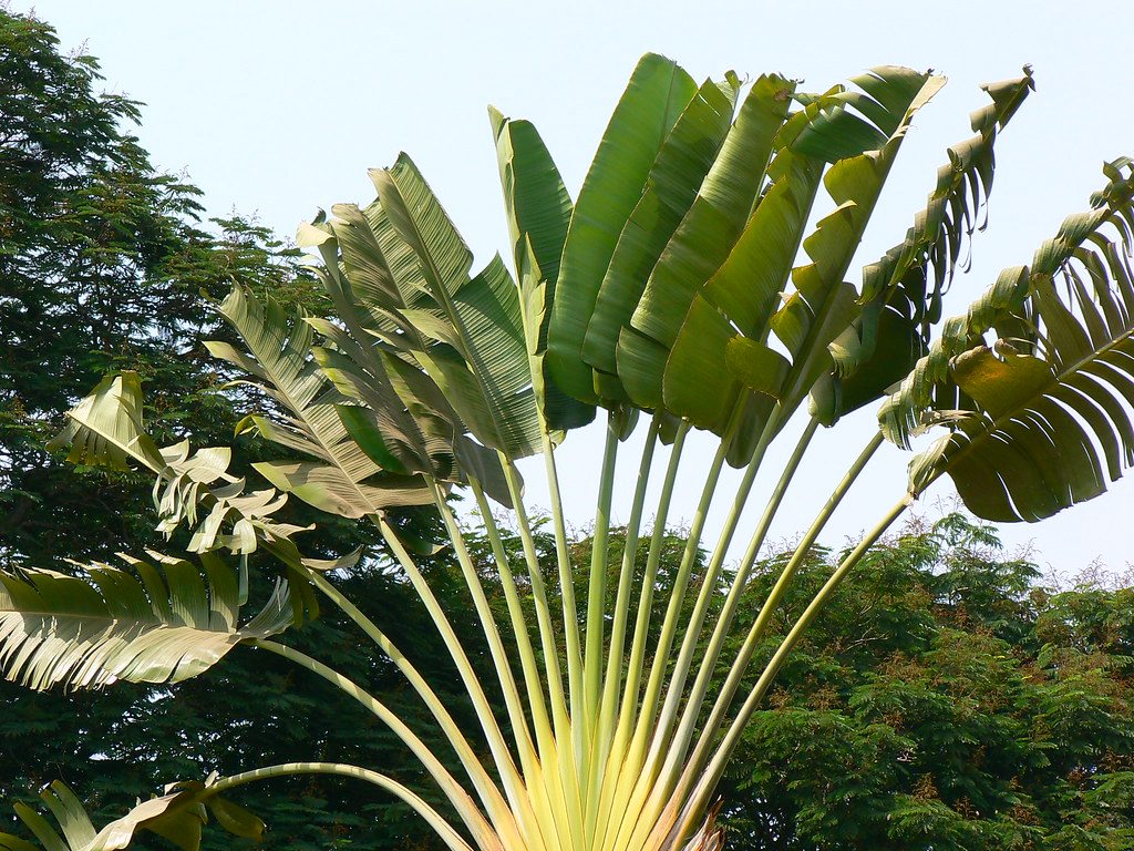 ravenala madagascariensis common name travellers palm