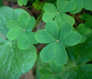 Oxalis Shamrocks, Two Kinds | by cobalt123