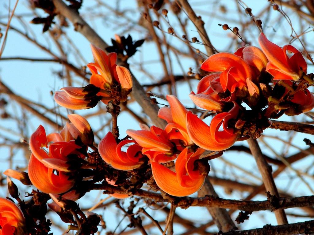 Palash Tree | Botanical Name:Butea frondosa | K. Shreesh ... Palash Flowers Images